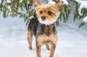 The Chorkie A Chihuahua Yorkshire Terrier Breed Mix Hp Long 3610876 335x220