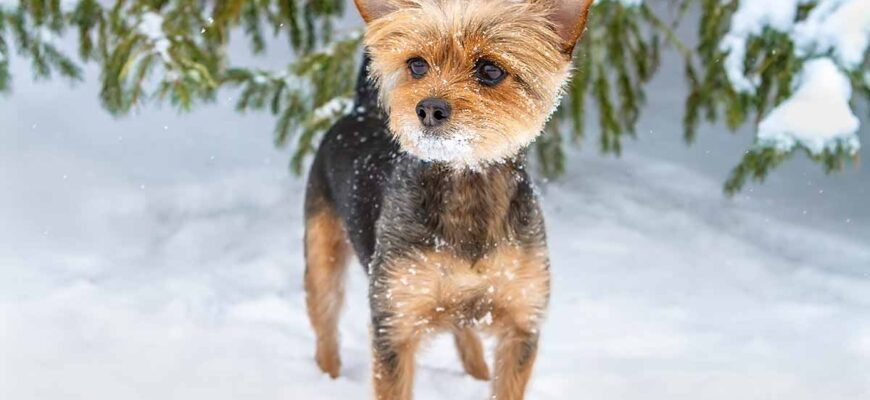 The Chorkie A Chihuahua Yorkshire Terrier Breed Mix Hp Long 3610876 870x400