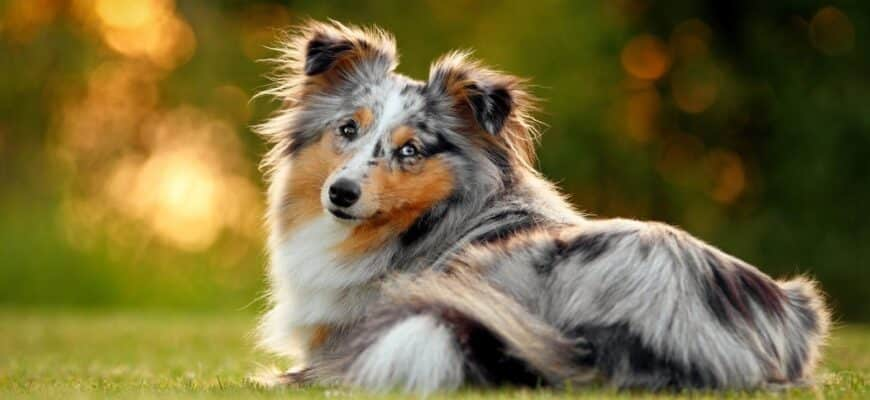 toy-collie