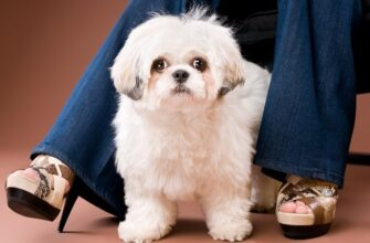 Shih Poo Mixed Dog Breed Pictures Cover 6678815 335x220