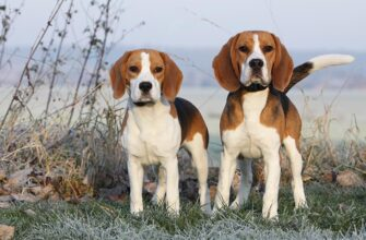 Beagles Standing In A Frosty Field On A Cold Morning 2635508 335x220