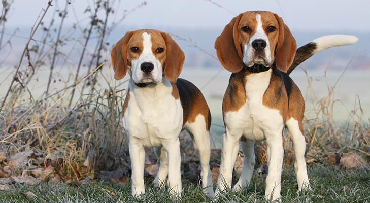 types-of-beagles