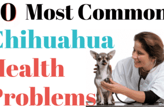 10 Most Common Chihuahua Health Problems Chipets.com 6597810 335x220