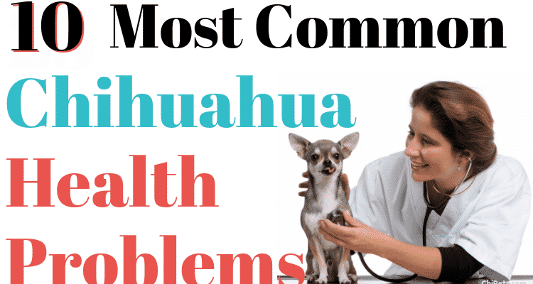 10 Most Common Chihuahua Health Problems Chipets.com 6597810 750x400