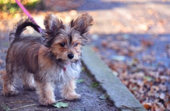 Chorkie Mixed Dog Breed Pictures 5 6249896 335x220