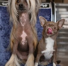 Two Domestic Dogs Sit Chair Small Brown Chihuahua With Protruding Tongue Chinese Crested With Long Hair 145577 177 1851284 226x220