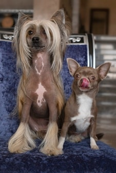 Two Domestic Dogs Sit Chair Small Brown Chihuahua With Protruding Tongue Chinese Crested With Long Hair 145577 177 1851284